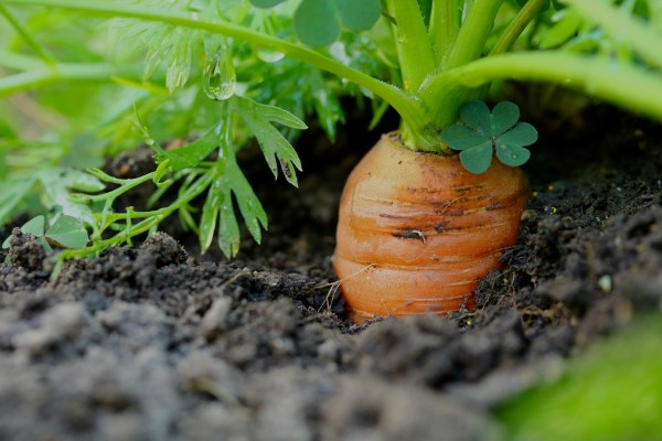 Growing carrots in pots | Tips for Carrot cultivation