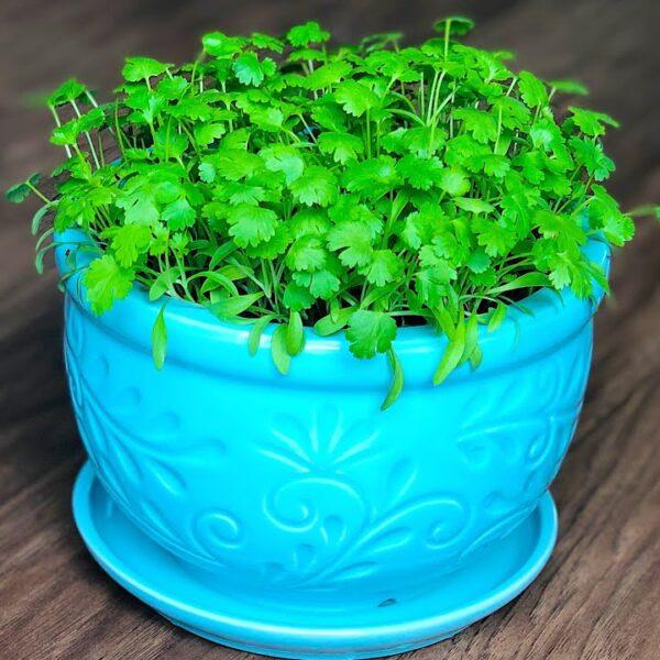 Grow Cilantro in pot | Growing Coriander leaves in pot